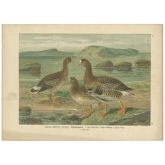 Antique Bird Print of the Greater White-Fronted Goose by Naumann, circa 1895