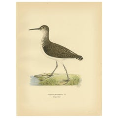 Antique Bird Print of the Green Sandpipe by Von Wright, 1929