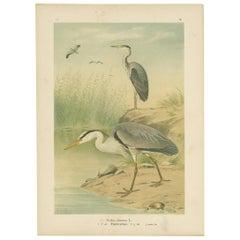 Antique Bird Print of the Grey Heron by Naumann, circa 1895