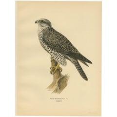 Antique Bird Print of the Gyrfalcon by Von Wright '1929'