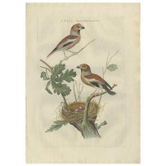 Antique Bird Print of the Hawfinch by Sepp & Nozeman, 1789