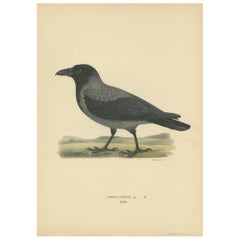 Antique Bird Print of the Hooded Crow by Von Wright, 1927