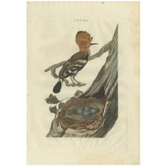 Antique Bird Print of the Hoopoe by Sepp & Nozeman, 1789