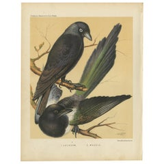 Antique Bird Print of the Jackdaw and Magpie 'circa 1880'