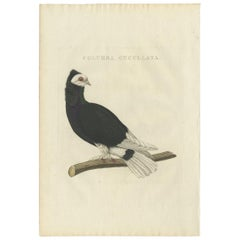 Antique Bird Print of the Jacobin Pigeon by Sepp & Nozeman, 1829
