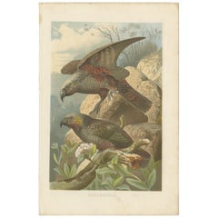 Antique Bird Print of the Kea by Brehm '1891'