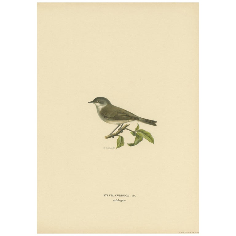LESSER WHITETHROAT BIRD vintage lithograph from 1957