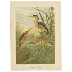 Antique Bird Print of the Little Bittern by Naumann, circa 1895