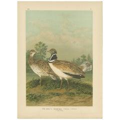Antique Bird Print of the Little Bustard by Naumann, circa 1895