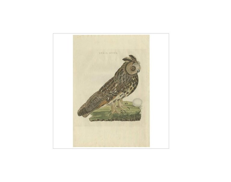 Antique print titled 'Strix Otus'. The long-eared owl (Asio otus), also known as the northern long-eared owl, is a species of owl which breeds in Europe, Asia, and North America. This species is a part of the larger grouping of owls known as typical