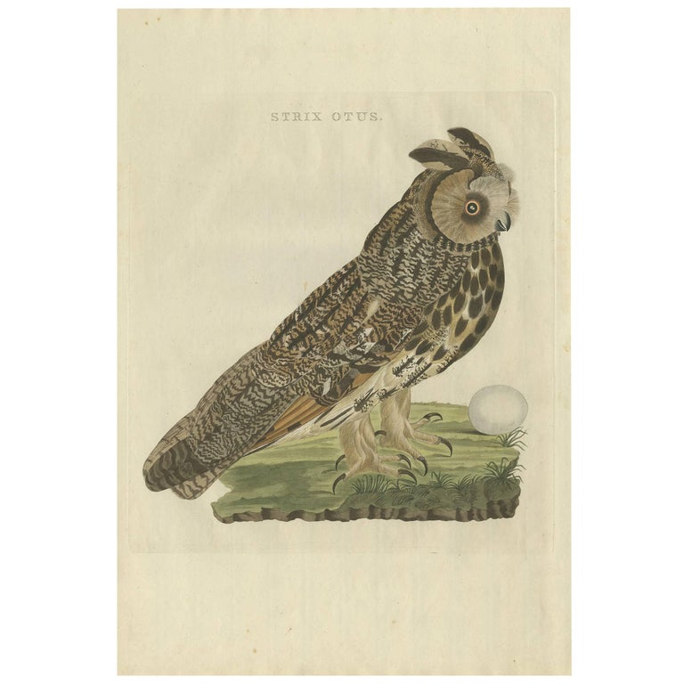 Antique Bird Print of the Long-Eared Owl by Sepp & Nozeman, 1809 For Sale
