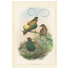 Antique Bird Print of the Magificant Bird of Paradise by Gould, circa 1850