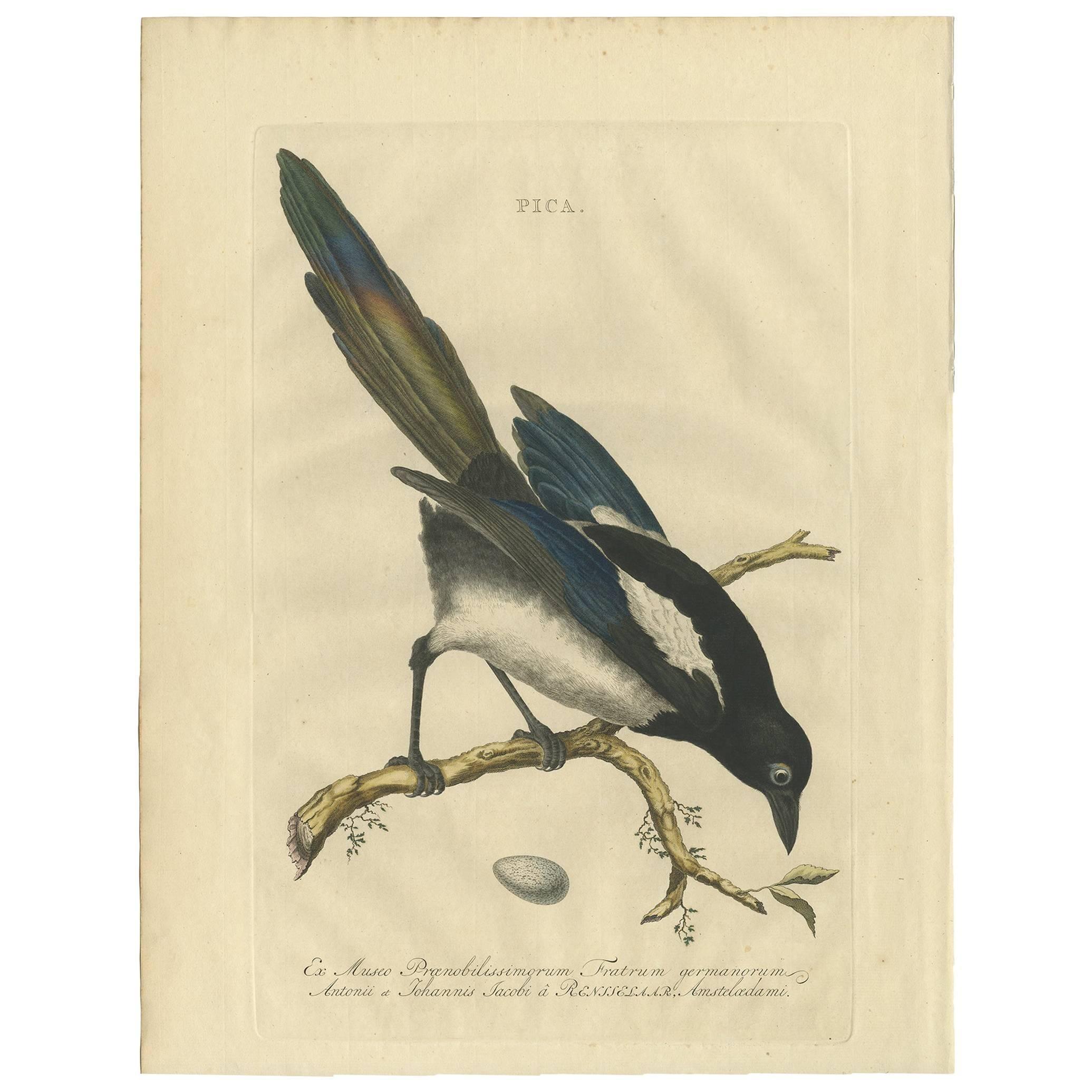 Antique Bird Print of the Magpie by Sepp & Nozeman, 1770