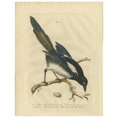 Antique Bird Print of the Magpie by Sepp & Nozeman, 1770