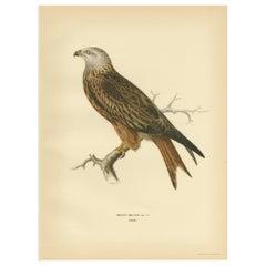 Antique Bird Print of the Milvus by Von Wright '1929'