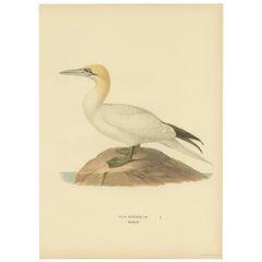 Antique Bird Print of the Northern Gannet by Von Wright, '1917'
