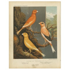 Antique Bird Print of the Norwich Canaries Clear Yellow 'Cayanne-Fed' and Other