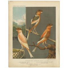 Antique Bird Print of the Norwich Canaries Dark-Crested Buff and Others
