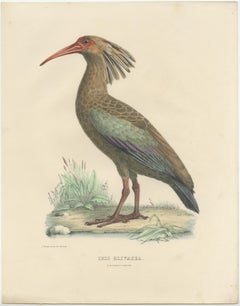 Antique Bird Print of the Olive Ibis by Severeyns (c.1850)