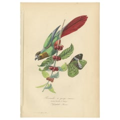 Antique Bird Print of the Painted Parakeet and a Butterfly '1853'