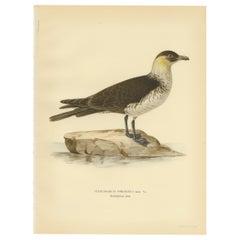 Antique Bird Print of the Pomarine jaeger by Von Wright, 1929