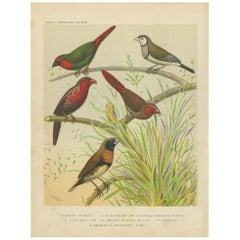 Antique Bird Print of the Parrot Finch, Double Barred Finch and Others