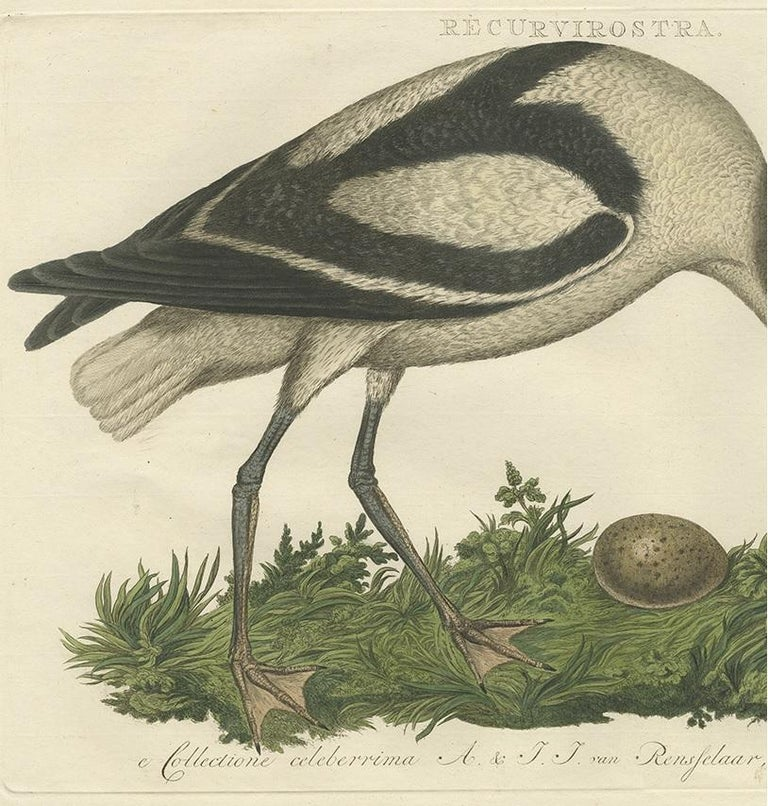 Dutch Antique Bird Print of the Pied Avocet by Sepp & Nozeman, 1770 For Sale