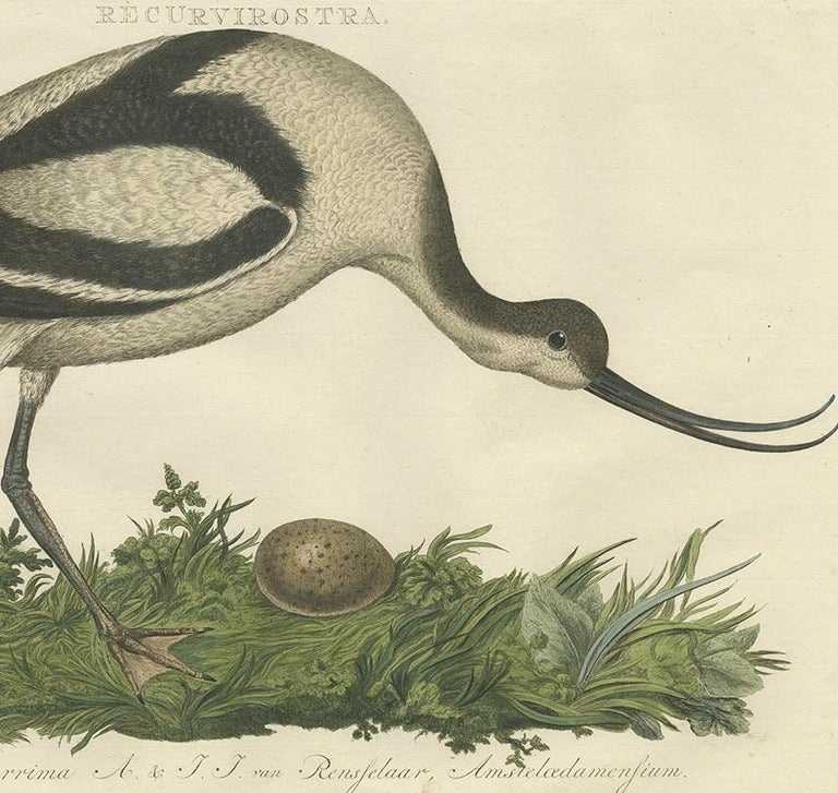 Antique Bird Print of the Pied Avocet by Sepp & Nozeman, 1770 In Good Condition For Sale In Langweer, NL