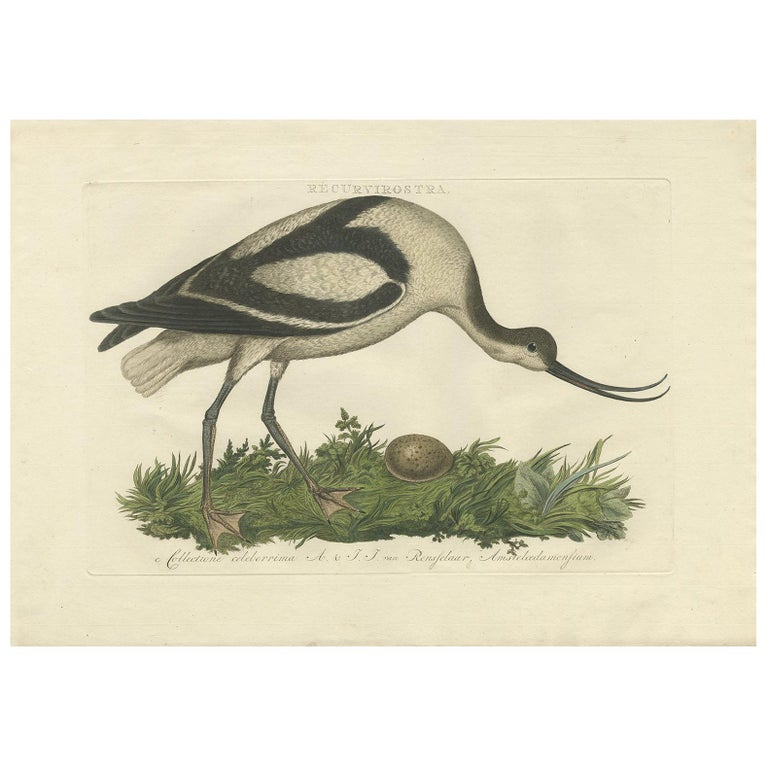 Antique Bird Print of the Pied Avocet by Sepp & Nozeman, 1770 For Sale
