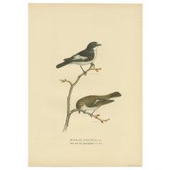 Antique Bird Print of the Pied Flycatcher by Von Wright '1927'