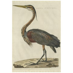 Antique Bird Print of the Purple Heron by Sepp & Nozeman, 1809