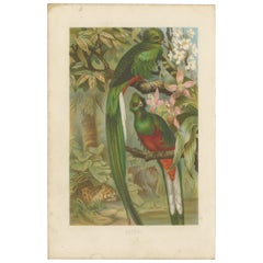 Antique Bird Print of the Quetzal by Brehm '1891'