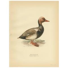 Antique Bird Print of the Red-Crested Pochard by Von Wright '1929'