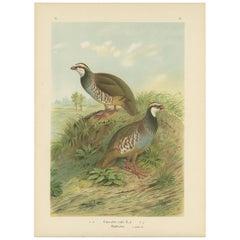 Antique Bird Print of the Red-Legged Partridge by Naumann, circa 1895