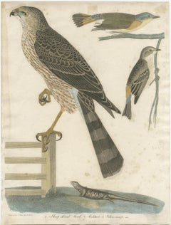 Antique Bird Print of the Red-Shinned Hawk, Redstart and a Warbler (c.1820)