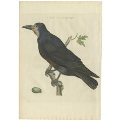 Antique Bird Print of the Rook by Sepp & Nozeman, 1797