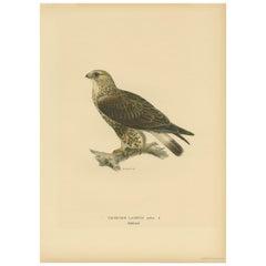 Antique Bird Print of the Rough-Legged Hawk by Von Wright '1917'