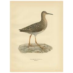 Antique Bird Print of the Ruff by Von Wright, 1929