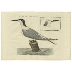 Antique Bird Print of the Sandwich Tern by Sepp & Nozeman, 1829
