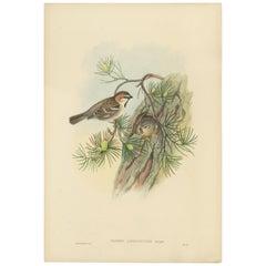 Antique Bird Print of the Saxaul Sparrow by Gould, circa 1850