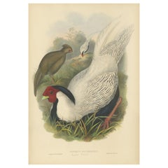 Antique Bird Print of the Silver Pheasant by Gould, circa 1850