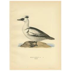 Antique Bird Print of the Smew by Von Wright, 1929
