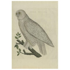 Antique Bird Print of the Snowy Owl by Sepp & Nozeman, 1809