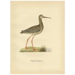 Antique Bird Print of the Spotted Redshank by Von Wright, 1929