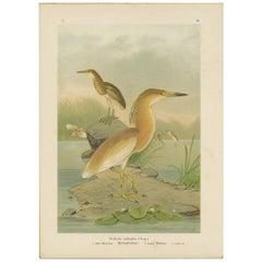 Antique Bird Print of the Squacco Heron by Naumann, circa 1895