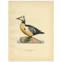 Antique Bird Print of the Steller's Eider by Von Wright, 1929