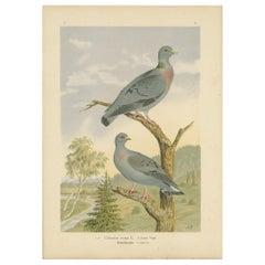 Antique Bird Print of the Stock Dove by Naumann, circa 1895