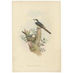 Antique Bird Print of the Swinhoe's Minivet by Gould, circa 1850