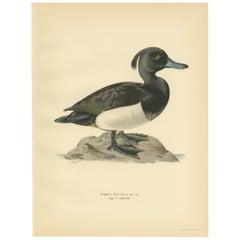 Antique Bird Print of the Tufted Duck by Von Wright, 1929