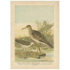 Antique Bird Print of the Upland and Spotted Sandpiper by Naumann, circa 1895